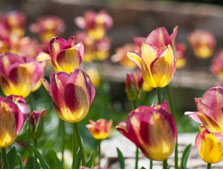 Tulips at Duke